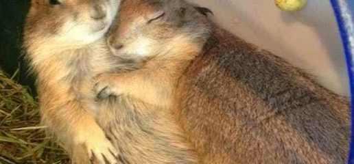 超搞笑动物图片:这些动物冬眠的样子太萌了