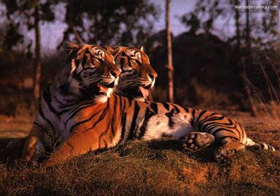 【经典】搞笑动物之老虎图片 老虎图片大全,让