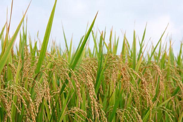 香型软米三系杂交籼稻亲本的创制与应用